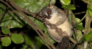 New Dwarf Primate Found in Angola