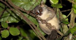 New Dwarf Primate Found in Angola