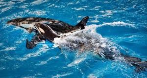Orca gives birth to last baby at SeaWorld
