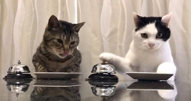 Pavlov's Humans: Adorable video shows cats 'training scientist' to bring them food every time they ring a bell