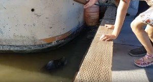 Sea lion drags girl into water off dock in Canada - video