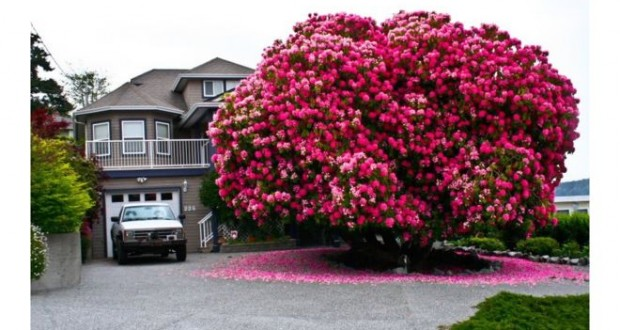 'Lady Cynthia' rhododendron bush puts Canada town on the map