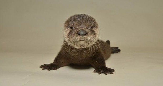 Tiny, adorable baby otter rescued by hero Arizonans