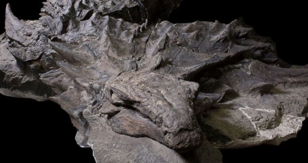 World's best-preserved armoured dinosaur unearthed in Canada