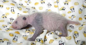Panda baby at Japan zoo gets a checkup