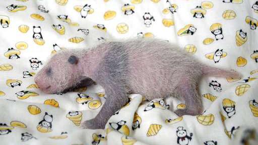 Panda baby at Japan zoo gets a checkup