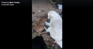 Dog Saves Baby Deer From Drowning