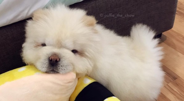 Meet Puffie The Chow, Puppy That Reached Impossible Level Of Cuteness