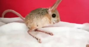 Meet jerboa - the cutest animal you did not know about